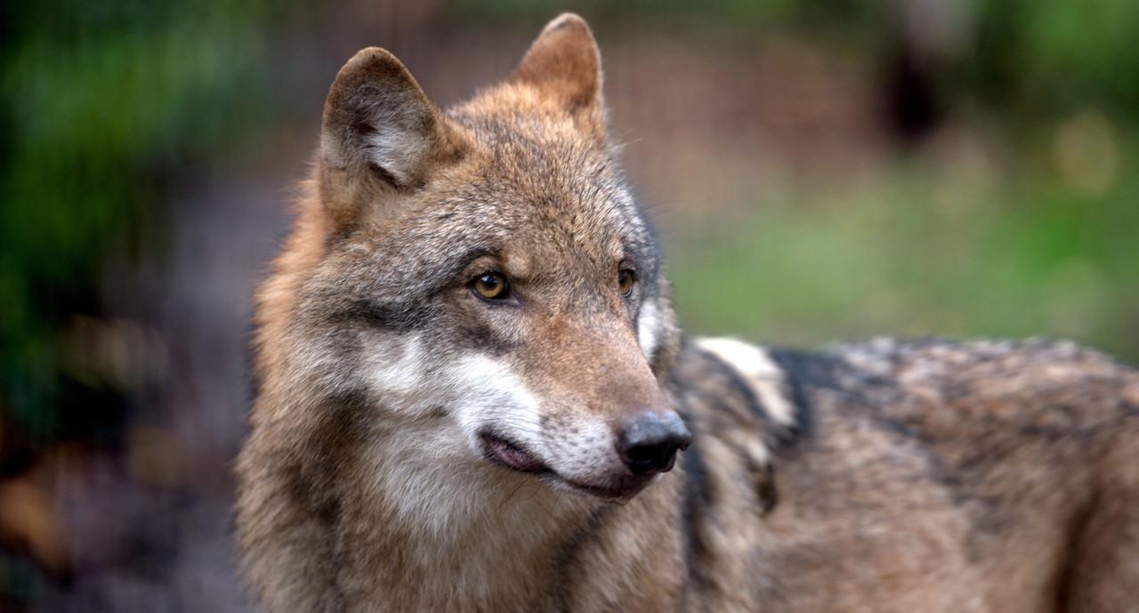 Senckenberg Institut bestätigt Wolfsverdacht bei Villingen-Schwenningen vom 9. März