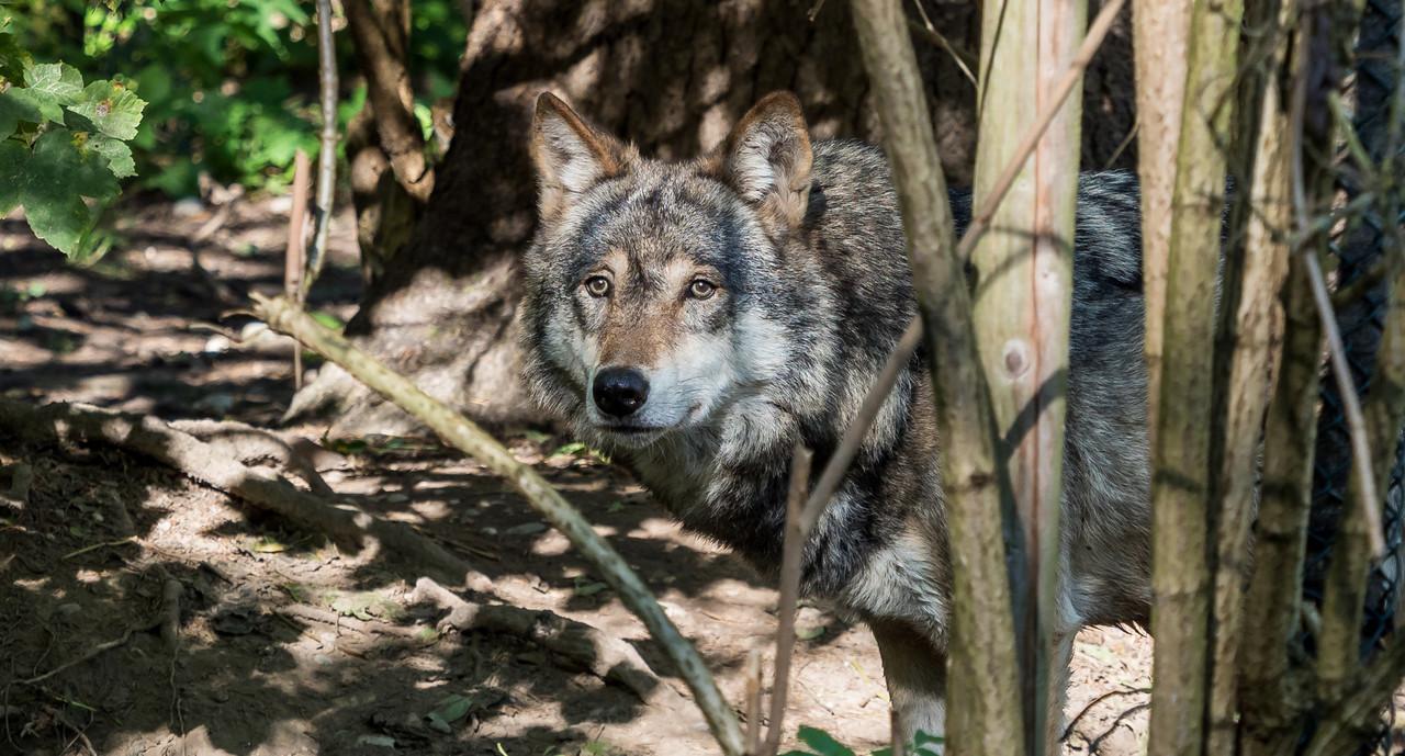 Im Land lebt nachweislich ein zweiter Wolfsrüde